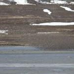 Polarsniper - Foto: Tomas Aarvak